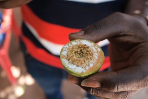 No Apple tree in Wiamoase; it's a fig tree – CSIR