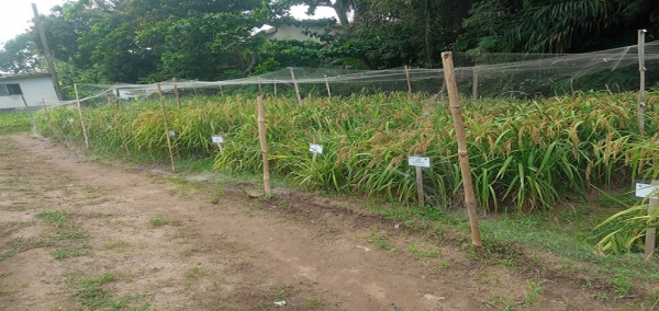 CSIR-CROP RESEARCH INSTITUTE DEVELOPS IMPROVED RICE VARIETIES FOR UPLAND FARMING