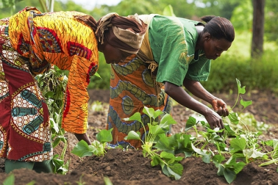 Only 5% Of Ghanaian Farmers Use Certified Seeds